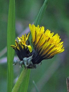 Dandelion - I use them for tea and fritters