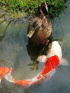 koi fish and duck