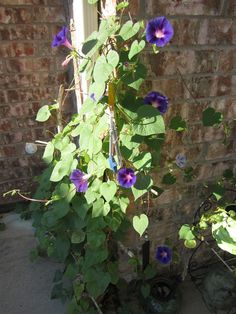 Morning glories climbing up the water spout