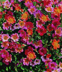 """Happy Chappy' rose""...Beautiful! <3"