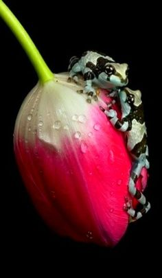 So tiny a kiss, color, black white, tulips, milk frog, flowers, frogs, kisses, animal