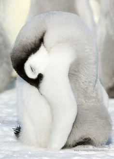 Emperor Penguin Chick Sleeping Antarctica.