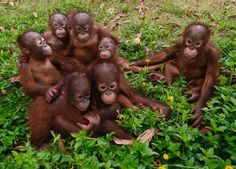 Re-homed orangutan orphans sit in a group at their rescue centre in Borneo. The young adoptees had bonded and treat each other like siblings...