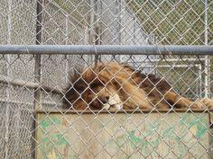 Sleeping lion at Cat Tails Zoo in Spokane, WA.