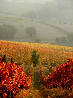 Autumn at Rosso Conero Winery on the slopes of Monte Conero, Italy.