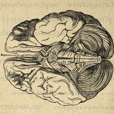 Brain Digital Printable Image Medical Diagram Graphic Anatomy Download Vintage Clip Art. Printable high quality digital graphic for making prints, transfers, tea towels, papercrafts, tote bags, and other great uses. Great for etsy products. This digital image is high quality, large at 8½ x 11 inches. Transparent background version included with every digital image.