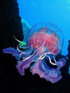 Jellyfish. Yes, this is on my wish list. I want a jellyfish water, seas, sea creatur, colors, the ocean, beauty, ocean life, beautiful creatures, jellyfish