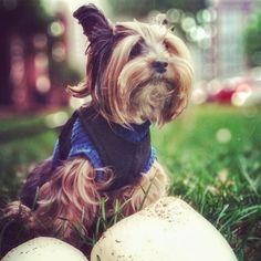 Yorkie in Wonderland yorki hairstyl, furri friend, yorkshir terrier, yorki photo