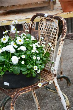 English daisies rusti chair, chair planter, english daisi