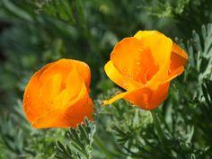 California state flower - golden poppy
