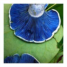 lactarius indigo mushroom/ blue milk mushroom #fungus #mushroom