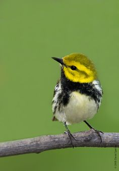The Black-throated Green Warbler (Setophaga virens) is a small songbird of the New World warbler family. The breeding habitat of the Black-throated Green Warbler is coniferous and mixed forests in eastern North America and western Canada and cypress swamps on the southern Atlantic coast.
