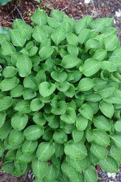 "Hosta ""Teaspoon""  #plants #gardens"