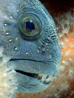 Atlantic Wolf fish---