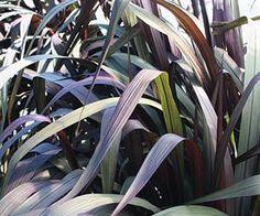 Graceful Grasses® Vertigo™ Pearl Millet