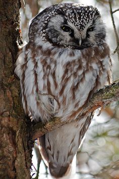 •Nature, hiking, wilderness, camping, medieval• mice, anim, camping, birds, owls, hoot, hiking, brent workman, boreal owl