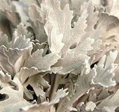 Flowers for your wedding - Dusty Miller foliage