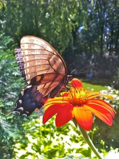 Black Swallowtail on Mexican Sunflower
