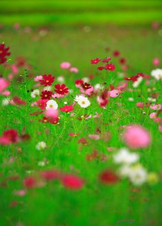 Cosmos Dwarf Sensation Ground Cover -Candy Land by Live Mulch #cosmos #groundcover