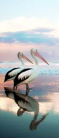 * Pelicans
