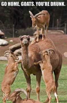 funny pics, funny pictures, animal humor, funni, creatur, camels, baby goats, funny memes, friend