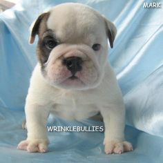 WrinkleBullies in Dallas, TX (NYT comments) puppi