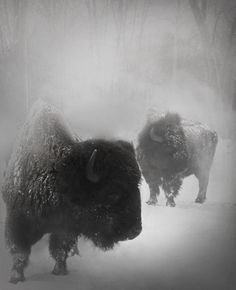 Buffalo in the snow