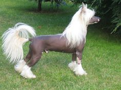 Chinese Crested dog.  I think these dogs are so pretty...I can't believe people call them ugly!  I would love to own one of these beautiful animals one day.