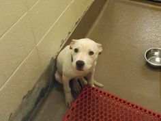 Animal ID # is 41204 I am a MALE, PEN 184 PIT BULL The shelter thinks I am YOUNG I will be available for adoption starting on 08/15/2014 FOUND STRAY ; LARGE ; FRIENDLY Call the Shelter for more information 770-339-3200.