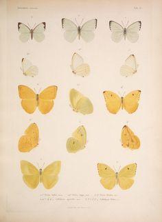 Cuban butterflies from Histoire Physique, Politique et Naturelle de l'ile de Cuba (1838-1857), via BibliOdyssey
