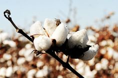 Cotton Country Agriculture Farming Wall Decor by paperangelsphotos, $35.00