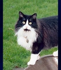 Tuxedo cat photo used for stained glass window
