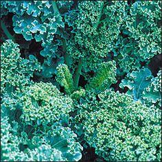 Heirloom Seeds: Kale, Dwarf Blue Curled OG