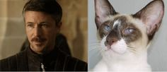 Officially OBSESSED . I had to create this myself b/c I was MAD that my imaginary  BOYFRIEND <3 Lord Petyr  'Littlefinger' Baelish <3 ...was NOT represented in the Cats of Thrones Meme! Lol. cat