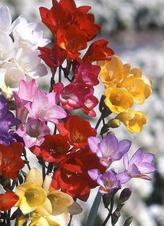 Freesia - I have some of these ordered and can't wait till they arrive!