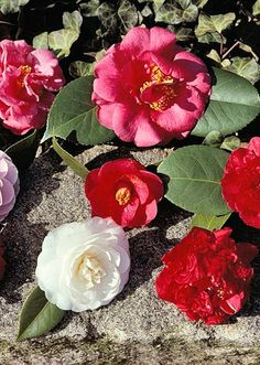 Camellia: This is a tall shrub can develop into small trees in warm climates. They bloom in spring and summer. Looks great against walls. Plant in part sun to shade areas in moist well-drained soil. Grows to 20ft by 20ft.