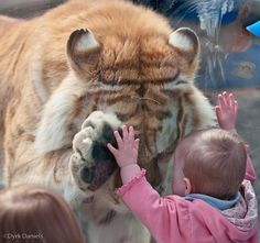 This is the remarkable moment when a tiger bowed its head and placed a paw up to the hand of a small girl.  Photographer Dyrk Daniels noticed the 370lb Golden Bengal Tiger had taken an interest in the child, who was leaning against his glass enclosure.  As the tiger, called Taj, headed over to her, Mr Daniels got his camera ready, expecting him to snarl and bang against the glass.  'I noticed that Taj had taken an interest in the girl and was heading towards her.  'I thought for certain that ...