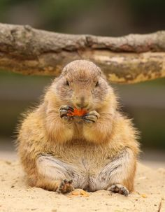 Prairie Dog...so cute!!