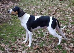 Boomer is an adoptable Coonhound Dog in Wooster, OH. Handsome Boomer is a 75 pound purebred Walker Coonhound around 4 or 5 years old. He came to us from a friend who found him wondering in the country...