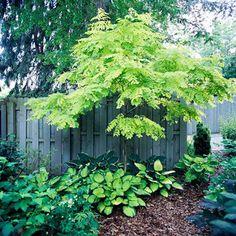 white flowers, locust tree, backyard plants, garden trees, side yard