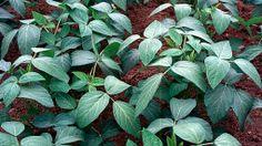 Soya beans / RHS Gardening