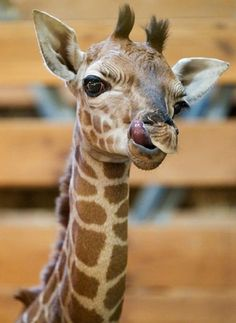 1st Licks, a baby Rothschild Giraffe at the Prague Zoo - Pixdaus