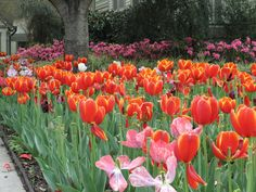 Tulips blooming in Orange, Texas