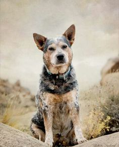 Blue Heeler, every farm should have one!