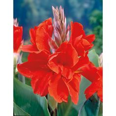 $6.98 - Shop 6-Count President Canna Lily (L5541) at Lowes.com