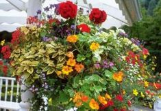 How to get beautiful hanging baskets.