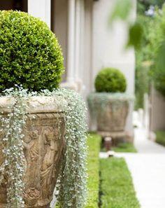 plant, garden container, silver fall, landscap, garden idea, topiari, dichondra silver, flower, container gardening