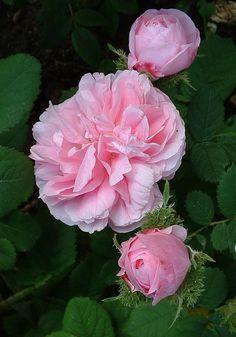 moss rose, messag, flowers garden, beauti flower