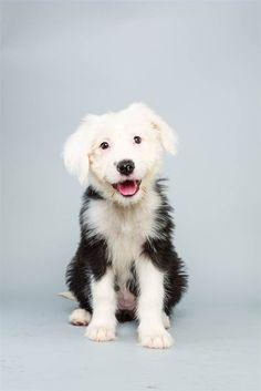 puppies, dogs, ginger, old english sheepdog, animal planet, counting sheep, 12 weeks, puppi bowl, bowls