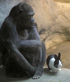 SAMANTHA AND PANDA...........    We have seen gorillas get cozy with cats, but Samantha is the first gorilla we've seen get buddy-buddy with a bunny. Eager to offer 47-year-old Samantha some companionship, the Erie Zoo gave her a rabbit named Panda. (Samantha was  lonely and too old to breed.) The present turned out to be a perfect fit. Gentle giant Samantha adores Panda, petting him and sharing her food with the bunny.